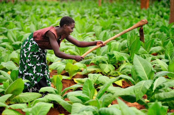 Woman tending to Tobacco Farm