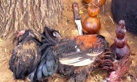 Chicken Sacrifice for WitchCraft