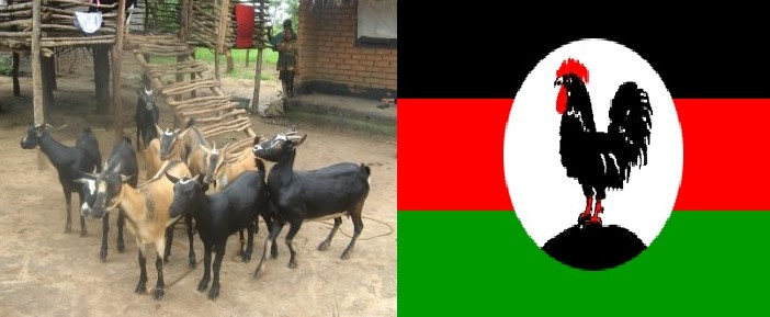 MCP taing Goats