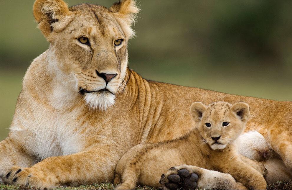 Female lion in Tanzania