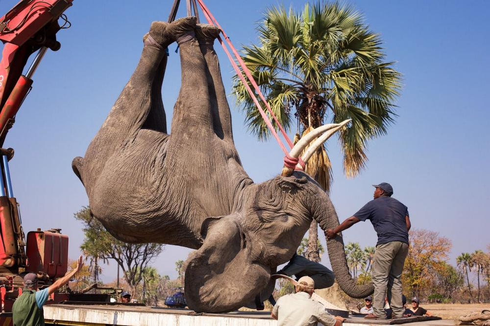 Malawi Elephants Relocation