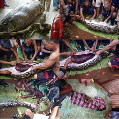 Indonesian missing woman found inside Python's stomach - The Maravi Post