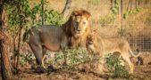 Malawi Lions