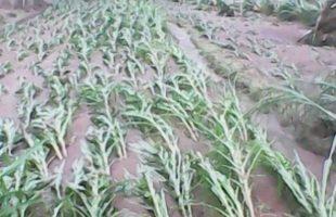 Maize Field socked in Rain Water