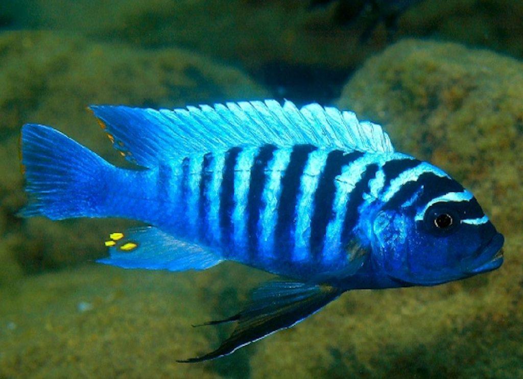 Blue Zebra Cichlid